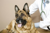 german shepard with vet